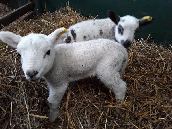 2019-Lambs