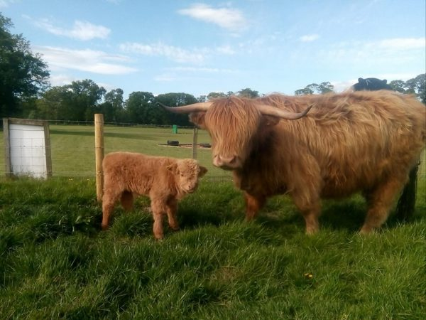 Highland-cow-and-calf-jsut-arrived